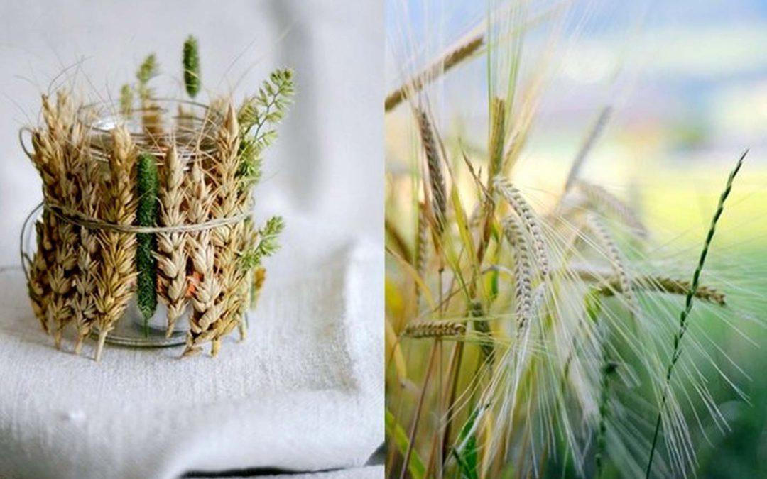 Klas pšenice ve Vašem interiéru